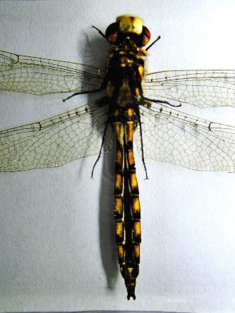 EPITHECA CANIS DRAGONFLY