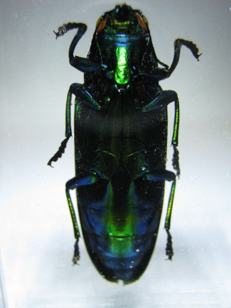 CHRYSOCHROA FULMINANS GREEN ( JEWEL BEETLE )