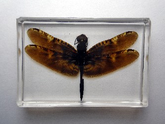 RHYOTHEMIS OBSOLESCENS DRAGONFLY