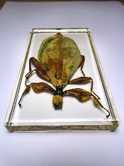 leaf_insect_2.JPG (220748 bytes)