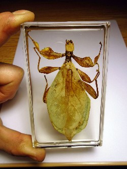 leaf_insect_4.JPG (217264 bytes)