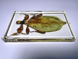 leaf_insect_7.JPG (142945 bytes)