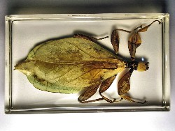 leaf_insect_11.JPG (164658 bytes)