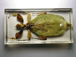 leaf_insect_17.JPG (140115 bytes)