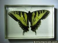 eastern_tiger_swallowtail0.JPG (136050 bytes)