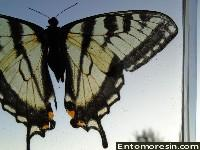 eastern_tiger_swallowtail6.JPG (171967 bytes)