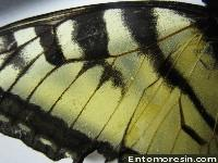eastern_tiger_swallowtail8.JPG (197423 bytes)