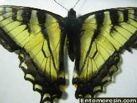 eastern_tiger_swallowtail11.JPG (195622 bytes)