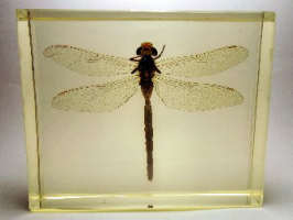 SYMPETRUM COSTIFERUM